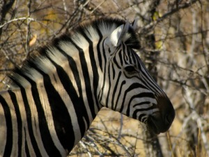 Strange Facts: What Do Zebras Eat?